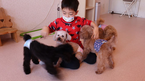 小型犬、トイプードル、犬、室内犬、動物の写真フリー素材 Small dogs, toy poodles, dogs, indoor dogs, animals photos free material