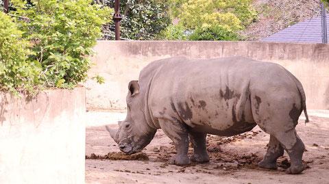 サイ、ミナミシロサイ、哺乳類、動物園、動物の写真フリー素材 Rhinoceros, Southern White Rhinoceros, Mammals, Zoos, Animals Photos Free Material