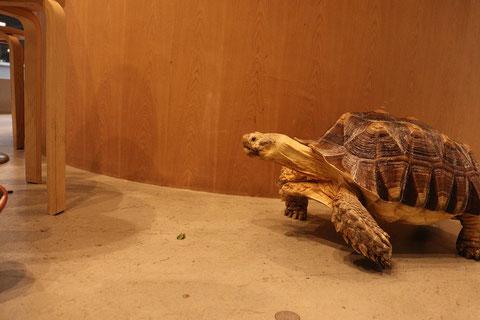 亀、カメ、リクガメ、陸亀、爬虫類、動物の写真フリー素材 Turtle, turtle, tortoise, land turtle, reptile, animal photo free material