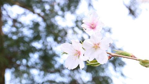 桜のアップの写真フリー素材 Cherry close-up photo free material