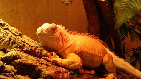 小動物、イグアナ、爬虫類、グリーンイグアナ、動物の写真フリー素材 Small animals, iguanas, reptiles, green iguanas, animals photos free material