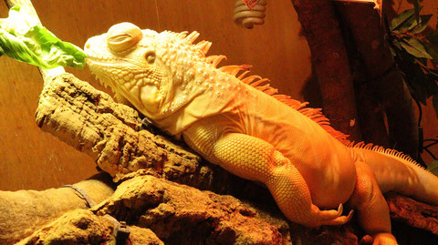 イグアナ、トカゲ、動物フリー素材 Iguanas, lizards, animal-free materials