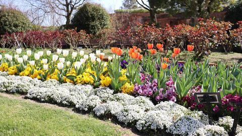 チューリップ畑の写真フリー素材 Tulip field photo free material