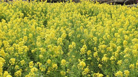 黄色い花写真フリー素材 Yellow flower photo free material
