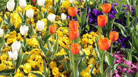 白いチューリップと赤いチューリップの写真フリー素材 White Tulips and Red Tulips Photos Free Material
