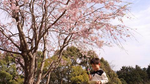 お団子を食べながら花見をする子供の写真フリー素材 Photographs of children watching cherry blossoms while eating dumplings Free material