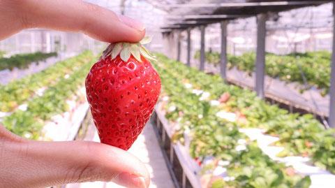 いちご、イチゴ、農園、果物、フルーツ、遊び、いちご狩り、苺、外食、食べ物の写真フリー素材 Strawberries,  Farms,  Fruits, Play, Strawberry Picking, Eating Out, Food Photos Free Material