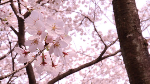 桜の枝の写真フリー素材 Sakura branch photo free material