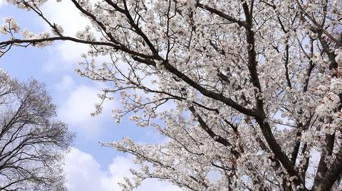 白い花と空の写真フリー素材 White flowers and sky photo free material