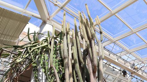 縦長サボテンの写真フリー素材 Vertical cactus photo free material