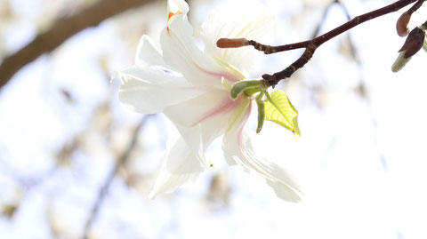 白い花の裏側写真フリー素材 Behind the white flower photo free material