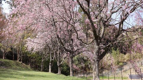 たれ桜花見の写真フリー素材 Sauce Sakura Hanami Photo Free Material