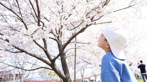 桜をみる子供の写真フリー素材 Children's photos of cherry blossoms Free material
