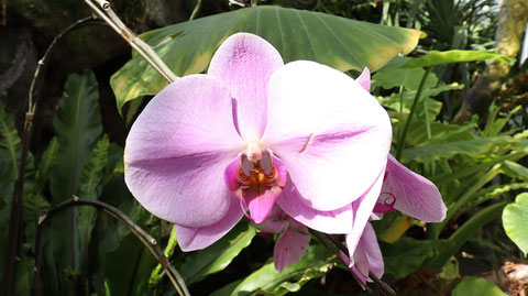 紫色の胡蝶蘭の写真フリー素材 Purple Phalaenopsis Orchid Photos Free Material