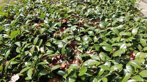 公園の葉っぱ写真フリー素材 Park leaves photo free material