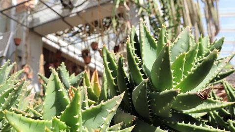 アロエの葉の写真フリー素材 Aloe leaf photo free material