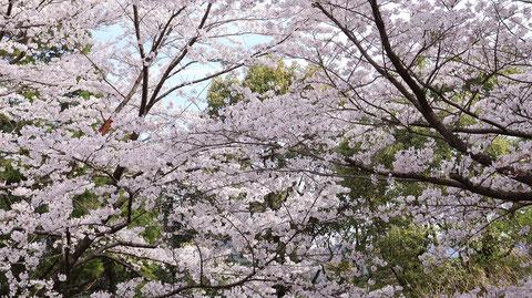 山の緑と桜の写真フリー素材 Mountain green and cherry blossoms photo free material