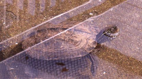 亀、クサガメ、爬虫類、動物園、動物の写真フリー素材 Turtles, Reeve's Turtles, Reptiles, Zoos, Animals Photos Free Material