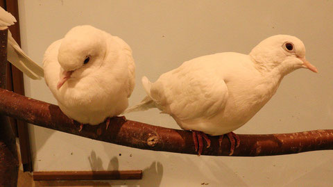 白い鳥、ハト、銀鳩、鳩、小動物、鳥、動物の写真フリー素材 White bird, pigeon, silver pigeon, small animal, bird, animal photo free material