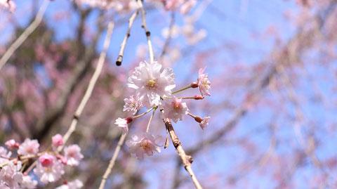 間近で見る桜写真フリー素材 Sakura photo free material to see up close