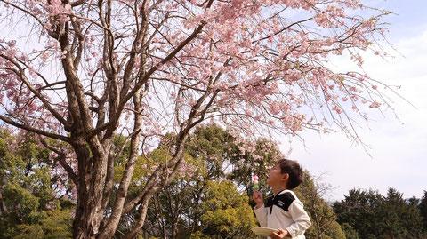 桜も団子も好きな子供の写真フリー素材 Photo free material of children who like cherry blossoms and dumplings