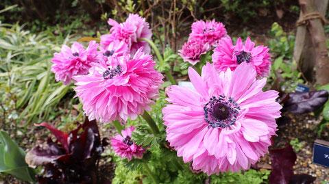 ピンク色の花の写真フリー素材 Pink flower photo free material