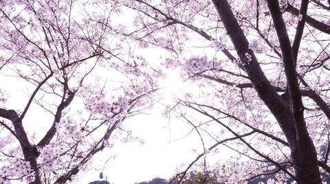 桜、日差し、太陽、明るい、パステル、風景写真フリー素材 Cherry blossoms, sunshine, sun, bright, pastel, landscape photography free material