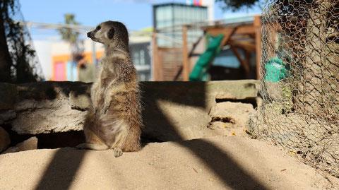 ミーアキャット meerkat Free material