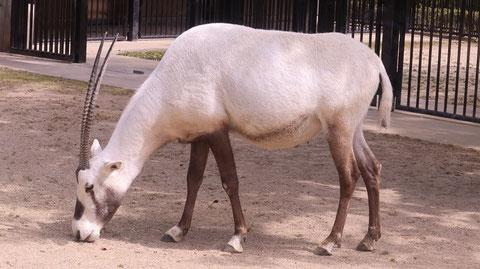 オリックス、アラビアオリックス、哺乳類、動物園、動物の写真フリー素材 Arabian Oryx, Mammals, Zoos, Animals Photos Free Material