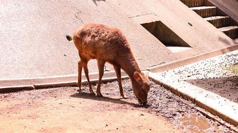 鹿、哺乳類、動物園、動物の写真フリー素材 Deer, Mammals, Zoos, Animals Photos Free Material