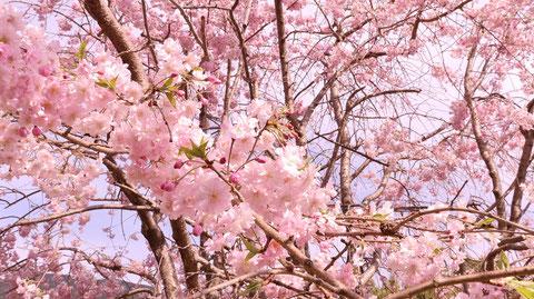 桜のつぼみと芽の写真フリー素材 Photo free material of cherry blossom buds and buds