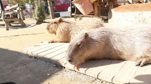 カピバラ動物のフリー素材 Capybara Free material