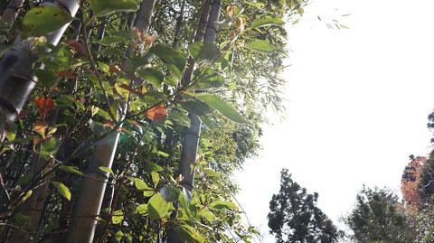 竹と空の写真フリー素材 Bamboo and sky photo free material