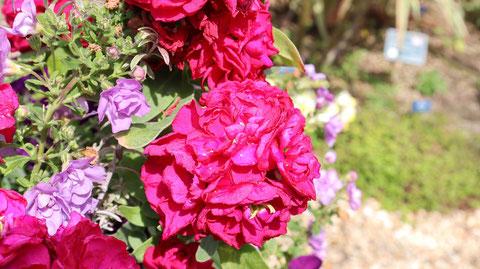 赤い色の花の写真フリー素材 Red flower photo free material