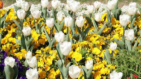 白いチューリップの写真フリー素材 White tulip photo free material
