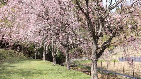 しだれ桜花見の写真フリー素材 Weeping cherry blossom viewing photo free material