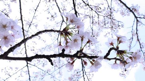 桜と青空の写真フリー素材 Sakura and blue sky photo free material