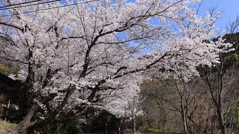 日本の桜の写真フリー素材 Japanese cherry blossoms photo free material