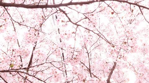 明るい桜の素材 Bright cherry blossom material