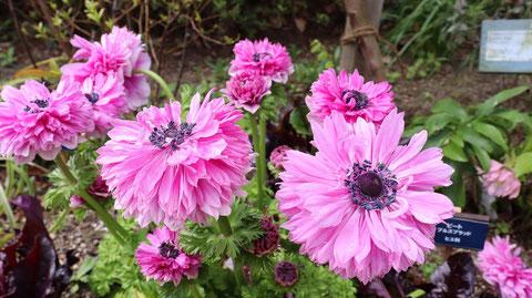 ぴんく色の花の写真フリー素材 Pink flower photo free material