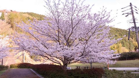 桜、田舎、山、夕方、風景の写真フリー素材 Cherry blossoms, countryside, mountains, evening, landscape photos free material
