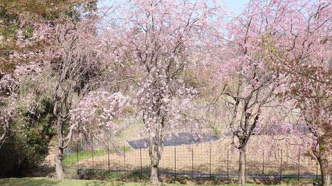 公園の桜の画像写真フリー素材 Park cherry blossom image photo free material