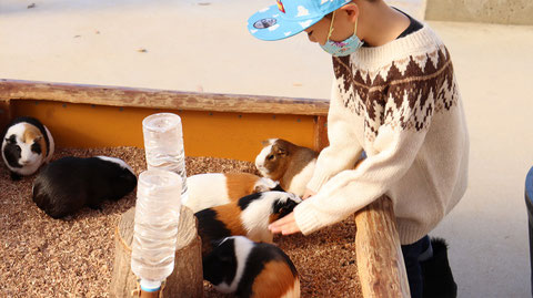 モルモット動物のフリー素材 Free material for guinea pigs