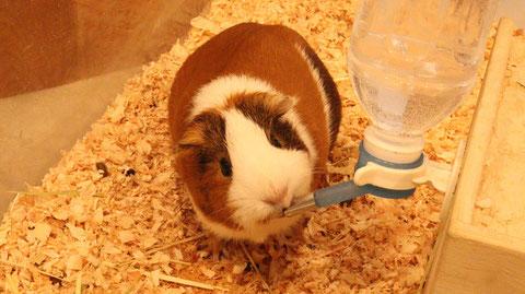モルモット、小動物、動物の写真フリー素材 Guinea pigs, small animals, animal photos free material