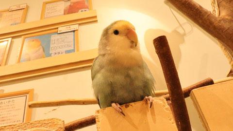 小動物、鳥、インコ、セキセイインコ、動物の写真フリー素材 Pictures of small animals, birds, parakeets, budgerigars, animals Free material
