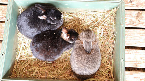 牧場、家畜、ウサギ、うさぎ、兎、動物の写真フリー素材 Ranch, livestock, rabbit, rabbit, rabbit, animal photo free material