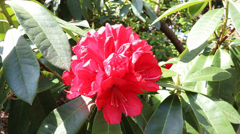 赤い花の写真フリー素材 Red flower photo free material