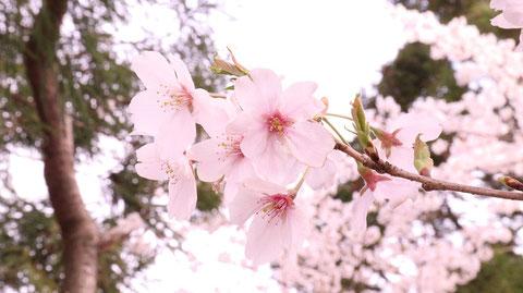 七分咲きの桜の素材 Material of three-quarter blooming cherry blossoms