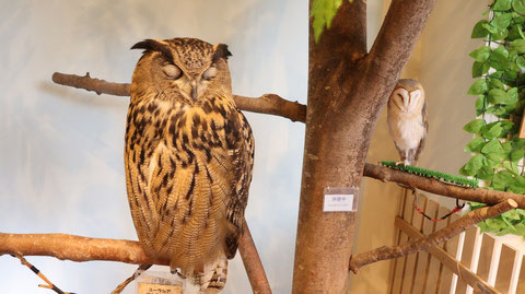 メンフクロウ、ベンガルワシミミズク、ふくろう、梟、フクロウ、ミミズク、鳥、動物の写真フリー素材 Barn Owl, Bengal Eagle Owl, Indian Eagle, Bird, Animal Photos Free Material