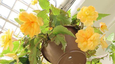 黄色い花の植木鉢の写真フリー素材 Yellow flower flowerpot photo free material
